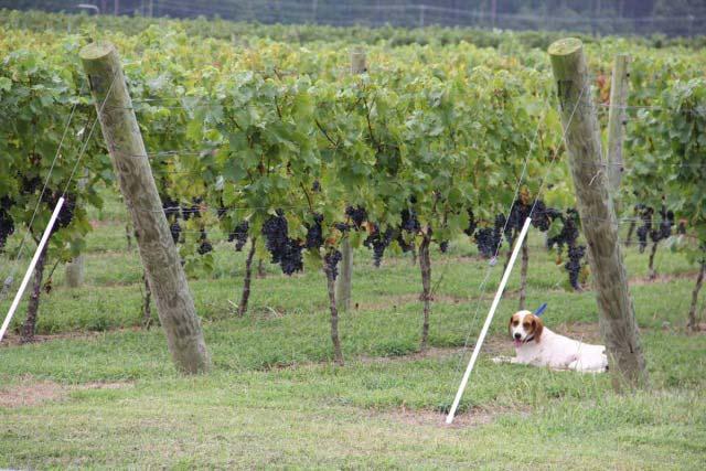dog patrolling Virginia winery