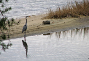 blue heron on shoreline