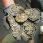 Oyster Gardening for Pleasure, Palate and Habitat Restoration